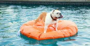 Family Dog Saves Toddler From Drowning