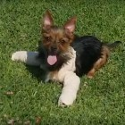Yorkie With 2 Broken Legs Abandoned in Park Gets Rescued