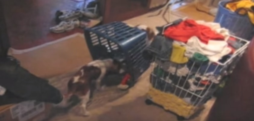 Dog Springs Laundry Basket Trap on Other Dog