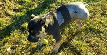 "Miracle Dog ""Lucky Loki"" Survives Being Hit by 13 Trains"