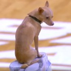 Tiny Dog Wows Crowd at College Basketball Game