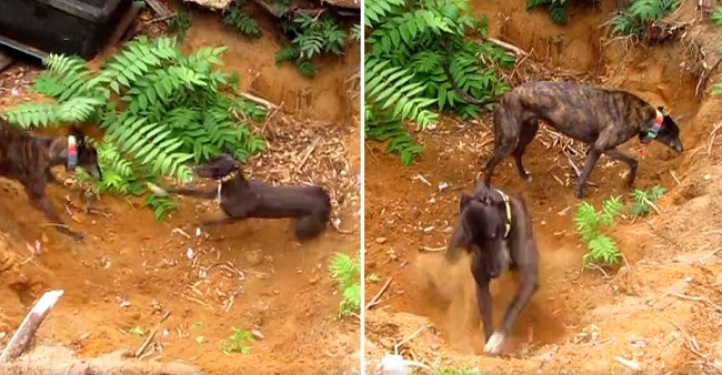 Ecstatic Greyhound Goes on a Digging Frenzy