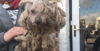 Neglected Blind and Deaf Dog Recovers and Enjoys Life Again