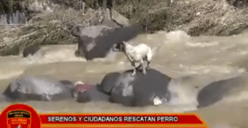 Men Save Homeless Dog Who Jumped in Fast Flowing River