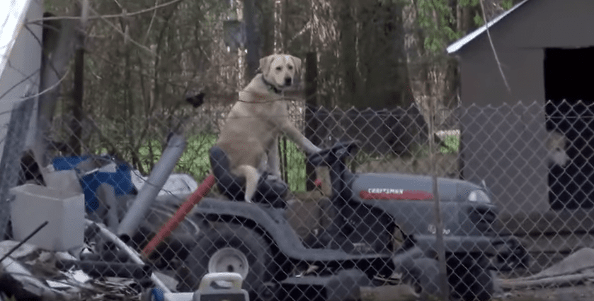Important News Report Derailed by Cute Dog on Lawnmower