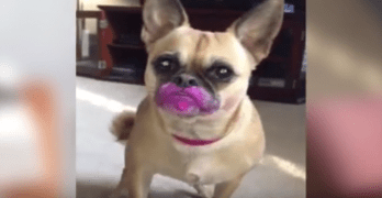 Dog Didn't Meant to Eat Lipstick, She Just Wanted to Wear Some