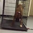 Boxer Shows Escape Artist Skills