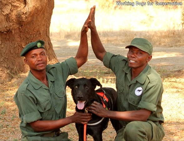 3.10.16 - Bad Dog Has Stopped 150 African Elephant Poachers1