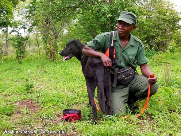 3.10.16 - Bad Dog Has Stopped 150 African Elephant Poachers4
