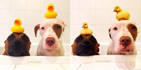 3.12.16 - These Pit Bulls Just Wanted Their Own Baby Ducks0