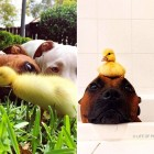 These Pit Bulls Just Wanted Their Own Baby Ducks
