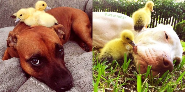 3.12.16 - These Pit Bulls Just Wanted Their Own Baby Ducks5