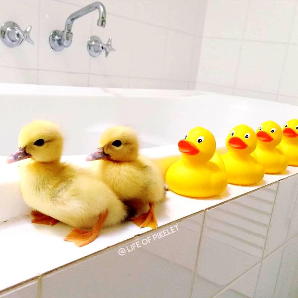Major Stress Relief -- Lunch With The Baby Ducks -- By ... |Real Baby Ducks