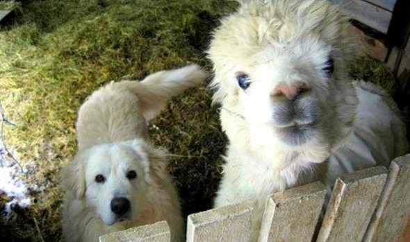 3.17.16 - Dog Adopted by Alpacas1