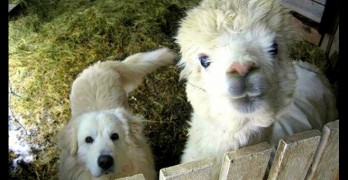 Swedish Sheepdog Adopted by Alpacas