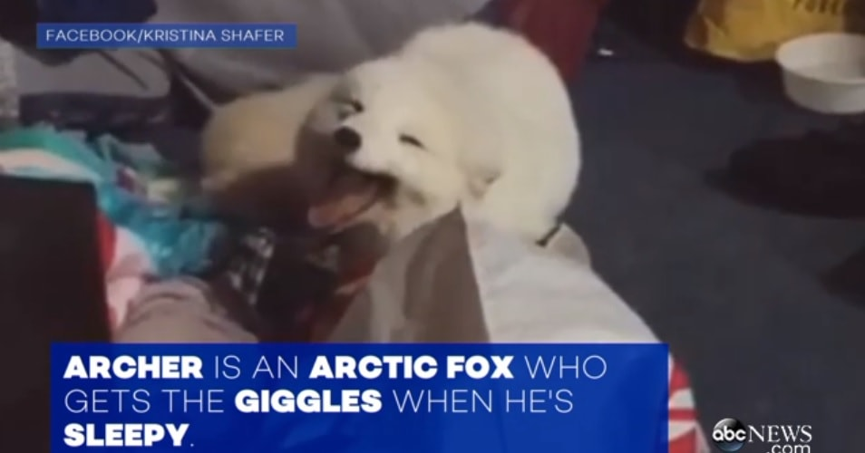 Fox Cackles Like a Human When Someone Laughs