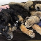 Male Dog Adopts Orphaned Cheetah Cubs
