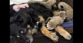 Male Dog Adopts Orphaned Cheetah Cubs
