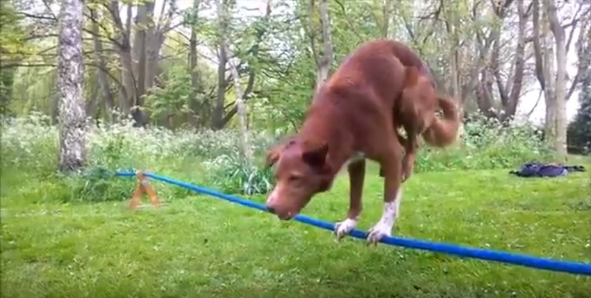 Acrobatic Dog Does Handstand on Tightrope