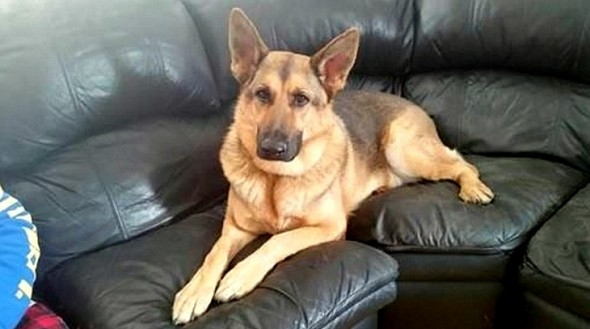3.29.16 - German Shepherd Who Spent Three Years in a Cage Is Rescued1