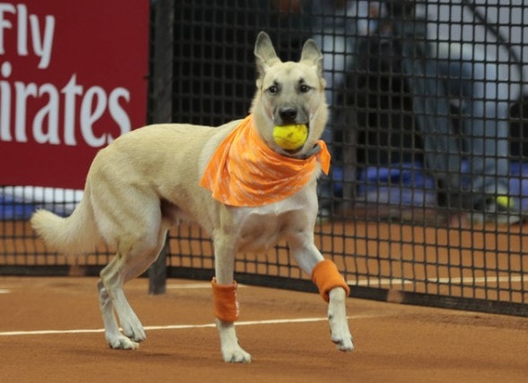 A dog picks up a tennis ball during the Brazil Open tournament in Sao Paulo, Brazil, Thursday Feb. 25, 2016. The dog was one of four trained animals that engaged onlookers Thursday night by picking up balls that went out of bounds. Not long ago, the same dogs had run abandoned in Sao Paulo, Brazil's biggest city. The unusual initiative was made to promote the adoption of abandoned street animals. (AP Photo/Leandro Martins)