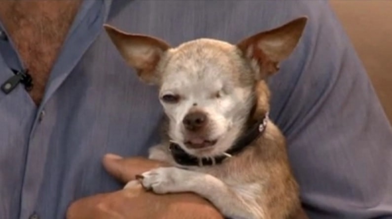 Harley the Chihuahua in Contest to Be Pictured on Plane
