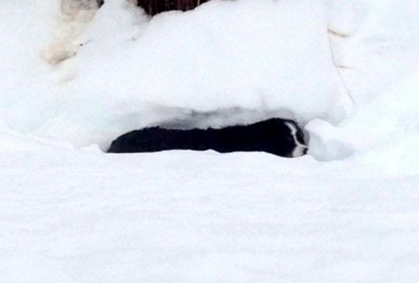 3.31.16 - Dog Thought Dead in Snow Found Alive1