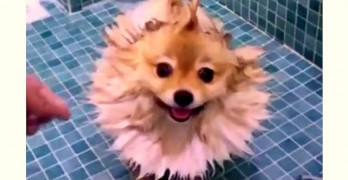 Fun With Pomeranian Fur in the Shower