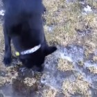 Silly Dog Bites Through Ice to Get Drink