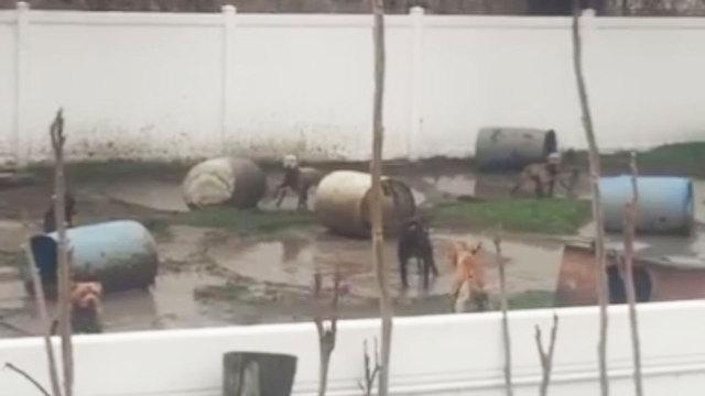 Vigilantes Torture and Disfigure Man Suspected of Breeding Fighting Dogs