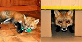 Rescued Fox Is the Perfect Mix of Cat and Dog