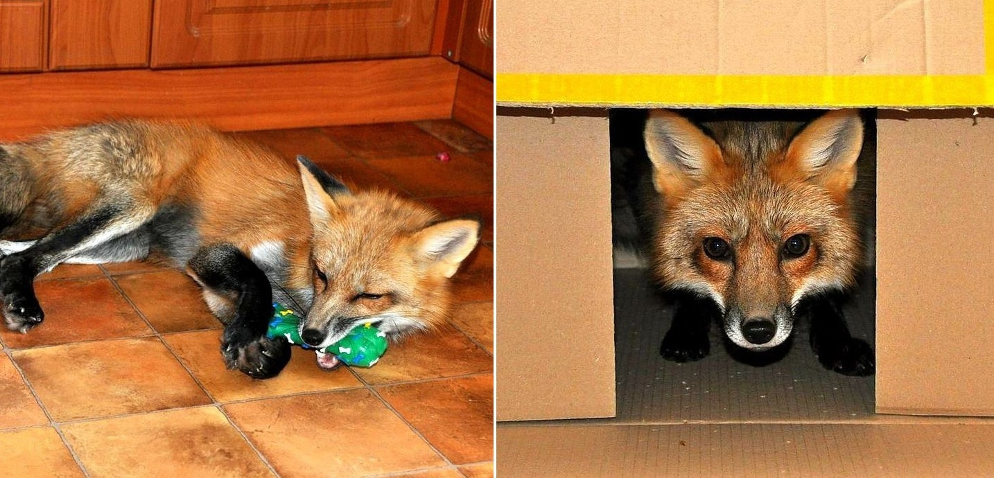 Dog Blanket For Car >> Rescued Fox Is the Perfect Mix of Cat and Dog