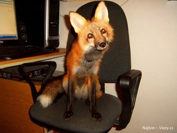 Fox dog mix