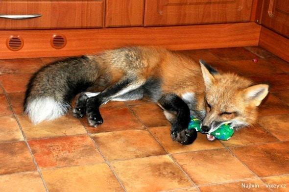 4.11.16 - Fox is a Cat-Dog12