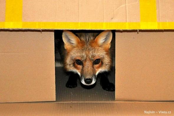 4.11.16 - Fox is a Cat-Dog16