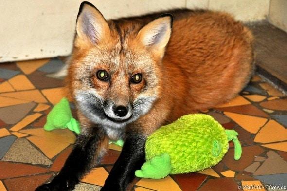 4.11.16 - Fox is a Cat-Dog3