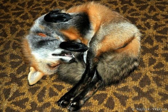 4.11.16 - Fox is a Cat-Dog4