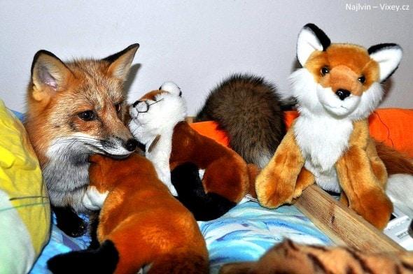 4.11.16 - Fox is a Cat-Dog8