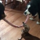 Tug-of-War Between 3 Dogs Has Surprise Ending
