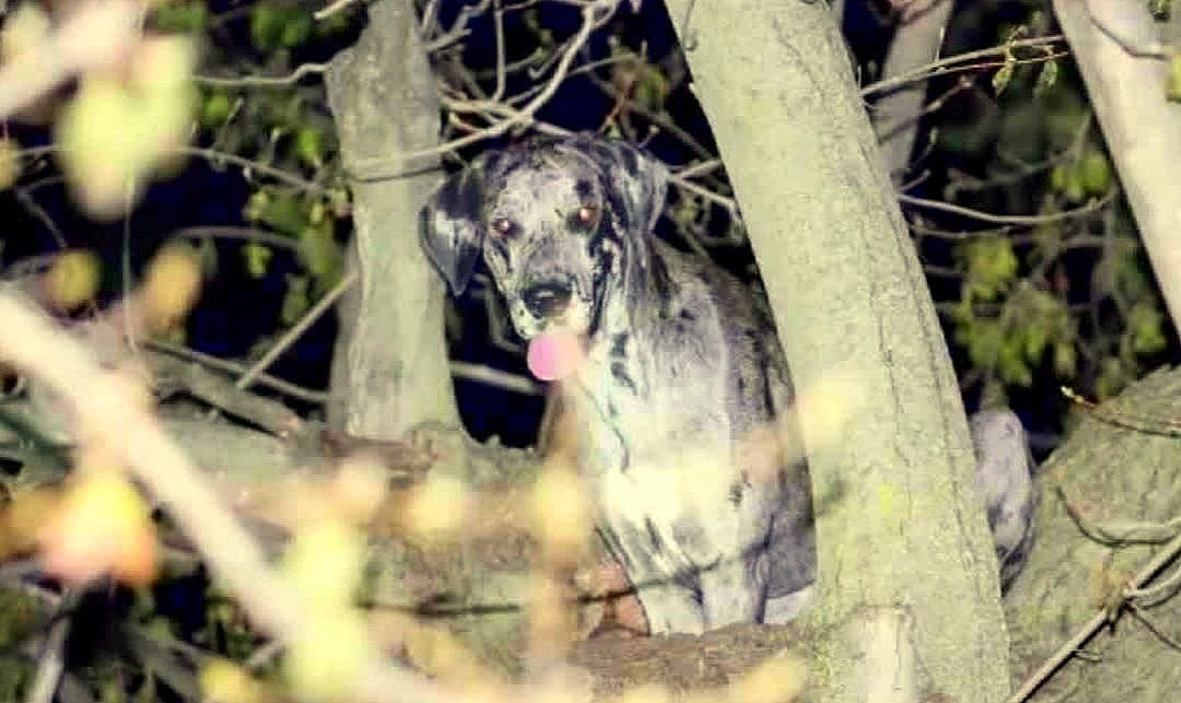 Firefighters Rescue Great Dane… from a Tree?
