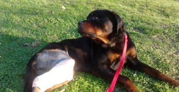 Good Samaritans Rescue Rottweiler Off of Roadside in Macedonia