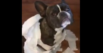 Dog Tries out new Toilet Paper Fashion