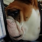 Bulldog Confused by Bulldog on Computer Screen