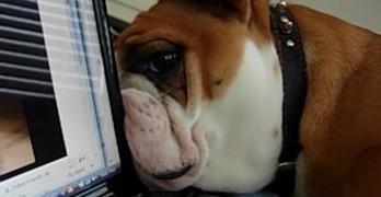 Bulldog Confused by Bulldog on Computer Screen