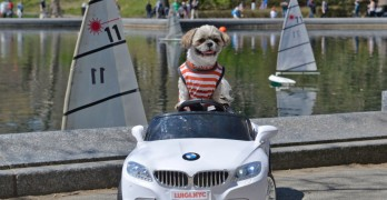 Luigi, the Dog With His Very Own BMW!