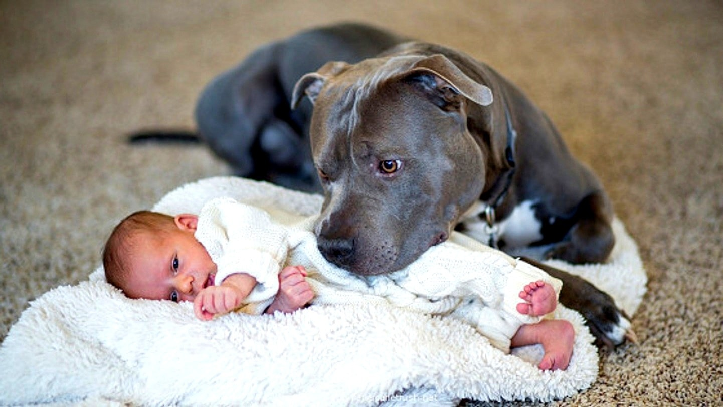 Man Worried About Wife S Pit Bull When Baby Is Born Is