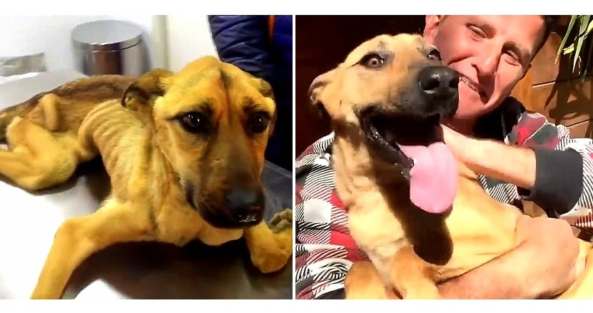 16-Pound Belgian Malinois Makes Phenomenal Recovery