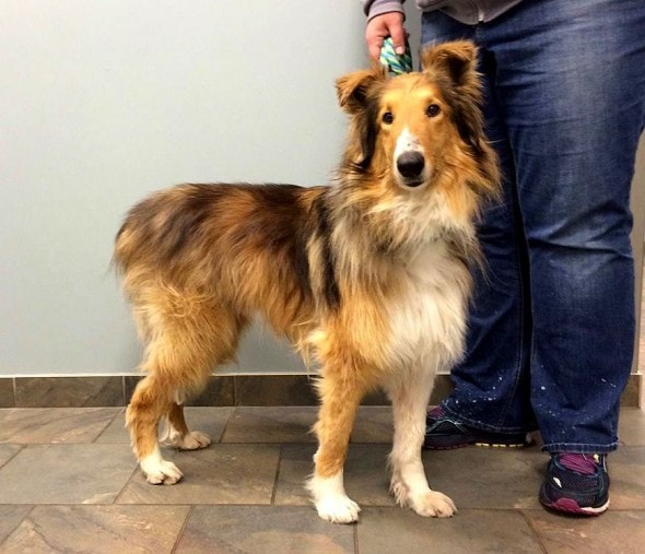 4.25.16 - Freight - Matted Rough Collie - TAF6