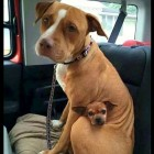 Adopted Pit Bull Refuses to Leave Shelter Without Best Friend