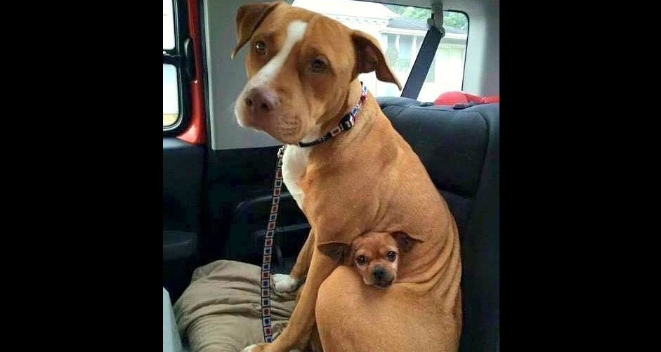 Adopted Pit Bull Refuses To Leave Shelter Without Best Friend Life